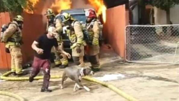 incendio pitbull